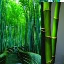 Jual Bibit Bambu