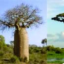 Jual Bibit Pohon Baobab