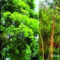 Jual Bibit Tanjung