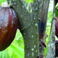 Jual Bibit Kakao