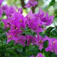 Jual Bunga Bougenville Tercantik Harga Terjangkau