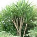 Jual Pohon Pandan Bali Berkualitas