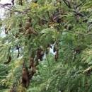 Jual Pohon Asam Harga Miring Dengan Kualitas Bersaing