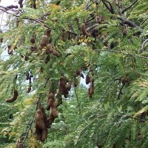 Harga Pohon Asam