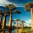 Jual Pohon Baobab, Pohon Unik dan Langka