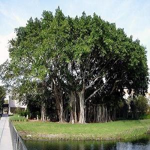 Harga Pohon Beringin