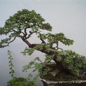 Harga Pohon Bonsai