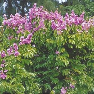 Harga Pohon Bungur