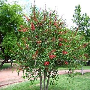 Harga Pohon Dadap Merah
