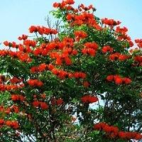 Jual Pohon Flamboyan Harga Terjangkau