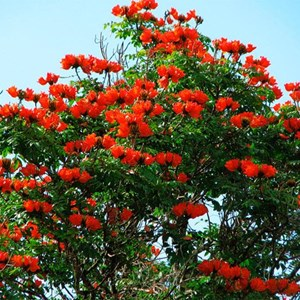 Harga Pohon Flamboyan