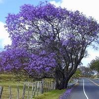 Jual Pohon Berbunga Jacaranda Terbaik