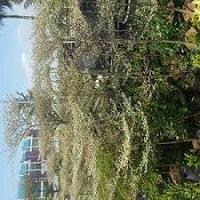 Jual Pohon Ketapang Kencana Parigata