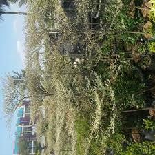 Harga Pohon Ketapang Parigata