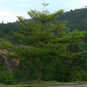 Harga Pohon Ketapang
