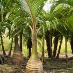 Harga Pohon Sadeng