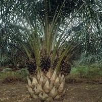 Jual Pohon Sawit Termurah Dijamin Berkualitas