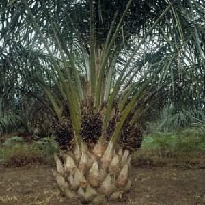 Harga Pohon Sawit