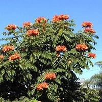 Jual Pohon Spathodea campanulata Berkualitas