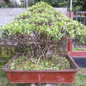 Harga Pohon Serut