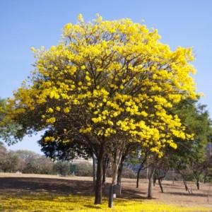 Harga Pohon Tabebuya Kuning