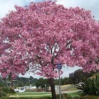 Jual Pohon Tabebuya Pink Dari Bibit Terbaik