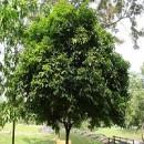 Jual Pohon Tanjung Harga Terjangkau Produk Berkualitas