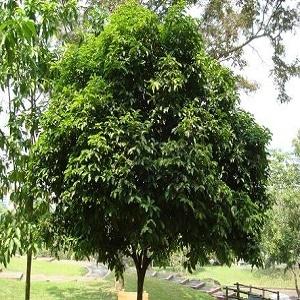 Harga Pohon Tanjung