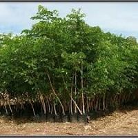 Jual Pohon Trembesi Terbaik