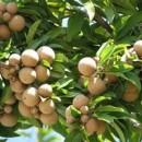 Jual Pohon Sawo Manila Berkualitas, Harga Hemat
