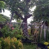 Jual Pohon Kamboja Aneka Jenis Harga Murah
