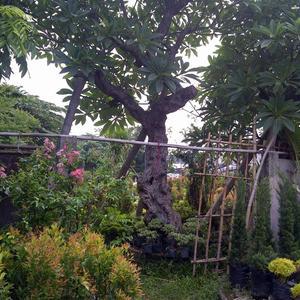 Harga Pohon Kamboja