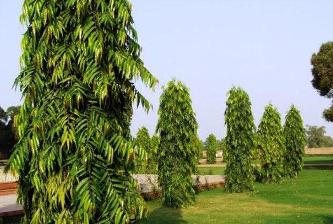Supplier pohon glodokan tiang