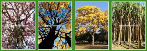 Supplier Pohon tabebuya