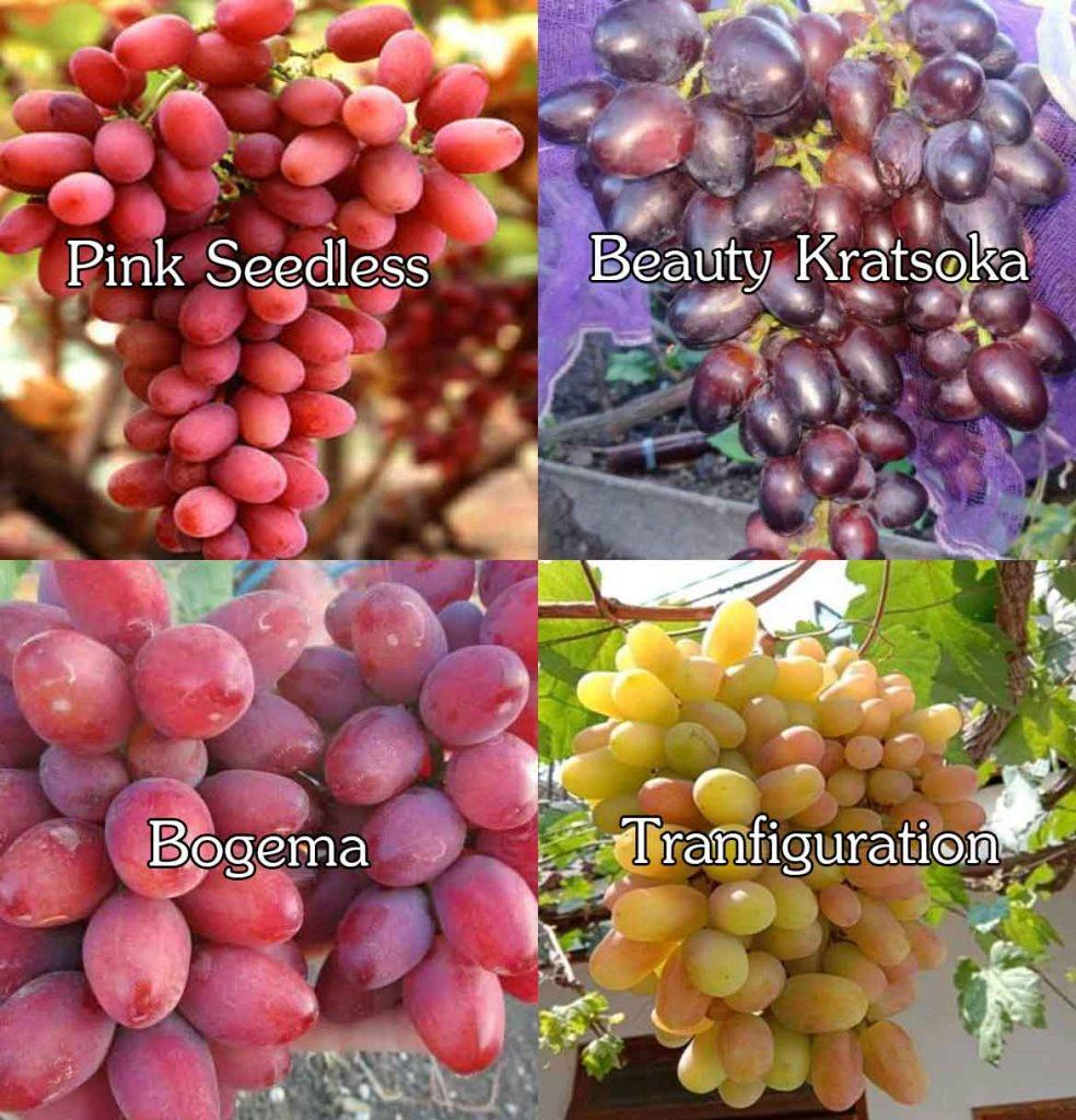 jenis-anggur-2.jpg