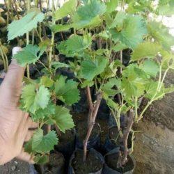 Bibit Anggur Import
